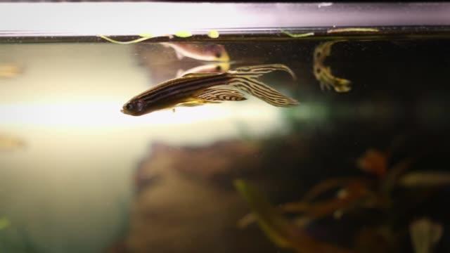 longfin zebra danio, danio resting, rerio swimming in a fish tank - siluriformes video stock e b–roll