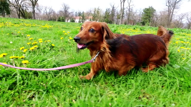 Long-haired Dachshund in the park. Cute long-haired dachshund is in the park. He is on the leash,taking a walk with his owner. leash stock videos & royalty-free footage