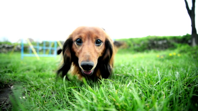 Long-haired Dachshund in the park. video