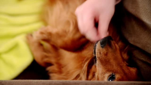 Long-haired Dachshund video