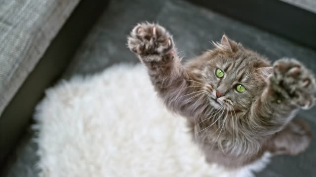 SLO MO Long-haired domestic cat extending its paws to catch the toy in the air