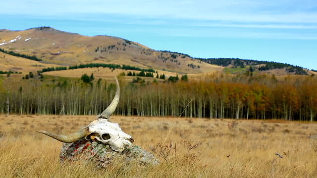 Longhorn Cattle skull in open pasture western concept video