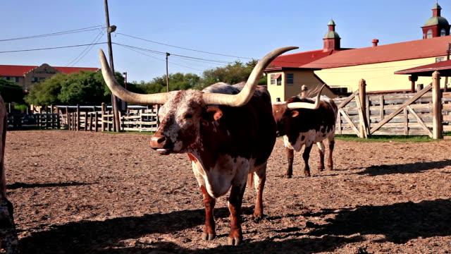 longhorn-rinder in texas - ranch stock-videos und b-roll-filmmaterial