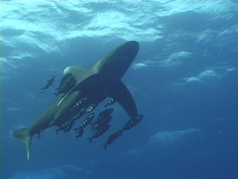 Longimanus shark with pilot fish video