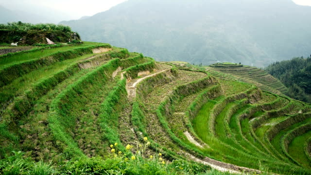 longji szeregową ryżu pola - longsheng filmów i materiałów b-roll