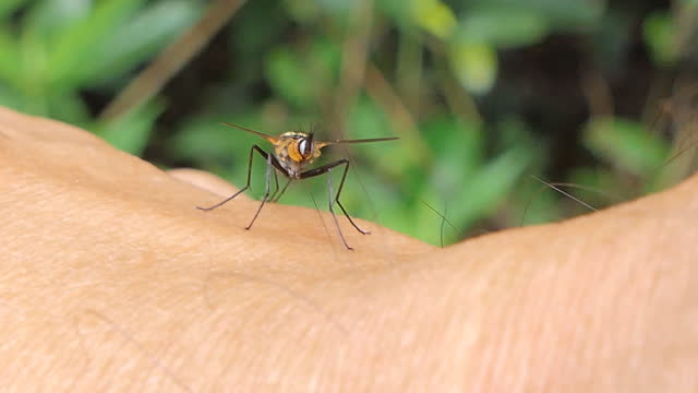 Long-legged flies on skin human. video