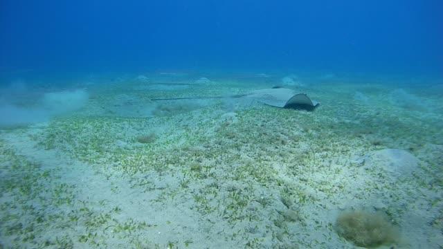 vídeos de stock e filmes b-roll de longtail stingray and school of fish chinese trumpetfish swim over the sandy bottom - abu dabab, marsa alam, red sea, egypt, africa - uge