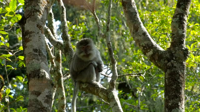 Long-tailed Macaque in tropical rainforest, Indonesia video