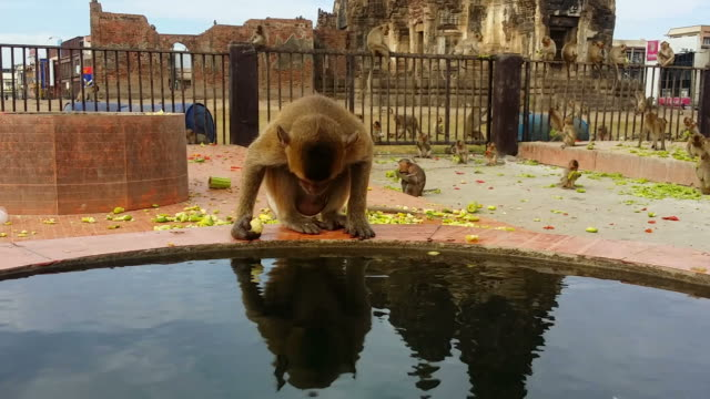 Longtailed Makake oder crabeating monkey in street lopburi, Thailand – Video
