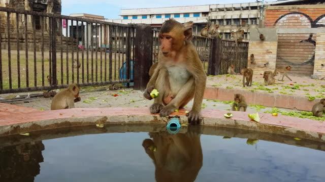 longtailed ザルまたは crabeating 猿のストリート lopburi タイ - 家系図点の映像素材/bロール