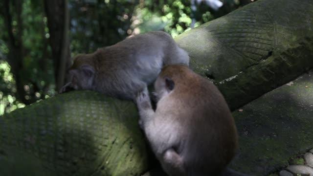 long-tailed monkeys checking each other at the sacred monkey forest in bali, ubud - юго восток стоковые видео и кадры b-roll