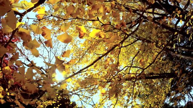 看看左右色的葉子-4 k- - 銀杏樹 個影片檔及 b 捲影像