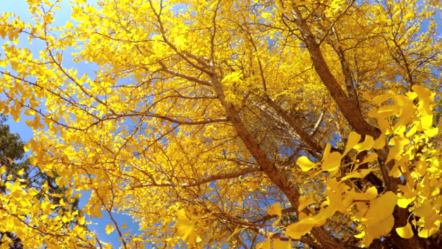 Look around colored leaves -4K- Look around colored leaves -4K- ginkgo tree stock videos & royalty-free footage