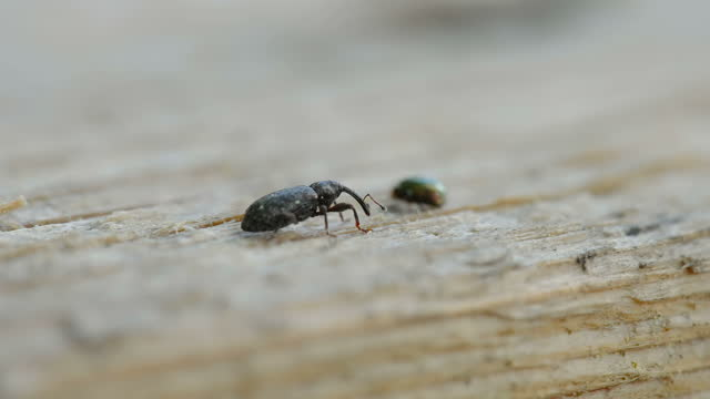 A look of the small weevil beetle on the plank