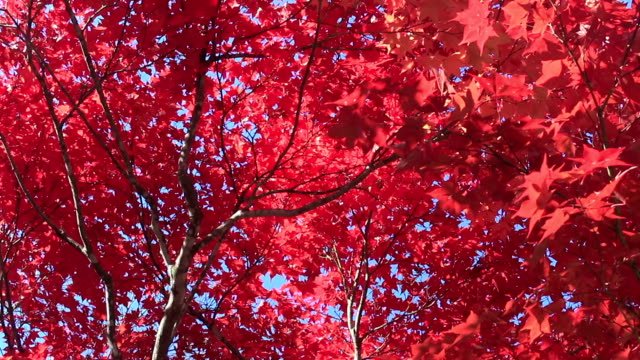 Look up, autumn leaves video