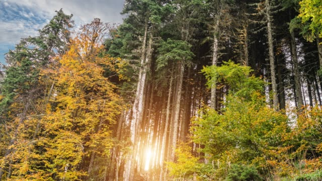 Look up in a dense pine forest in autumn Look up in a dense pine forest in autumn time lapse high dynamic range imaging stock videos & royalty-free footage
