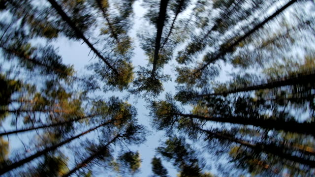 Bидео Look up to the blue sky in green woods through the tall trees, rotating and dreaming