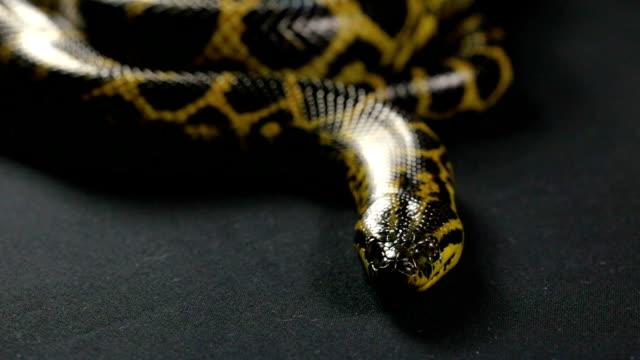 Looking and crawling yellow anaconda video