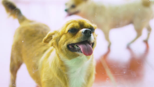 looking at cute dogs smile through a glass door looking at cute dogs smile through a glass door tail stock videos & royalty-free footage