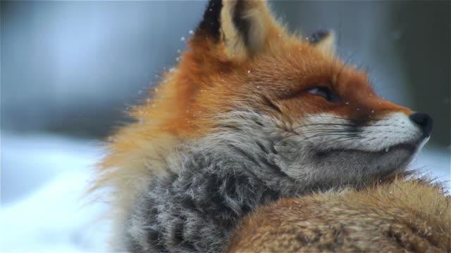 vidéos et rushes de à la recherche de renard - animaux à l'état sauvage
