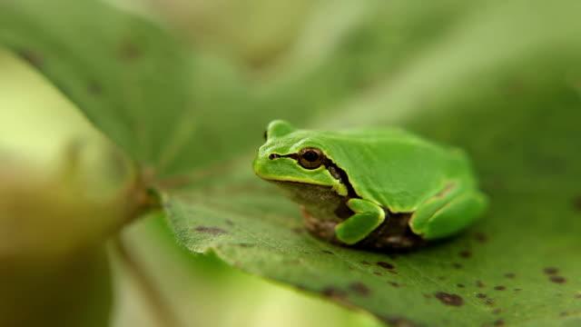 looking frog looking frog frog stock videos & royalty-free footage