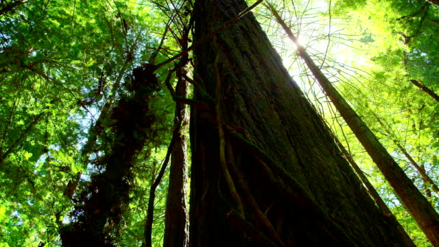 Looking Up At A Giant Redwood Tree Deep In The Redwood Forest On The Western Coast of The United States. video