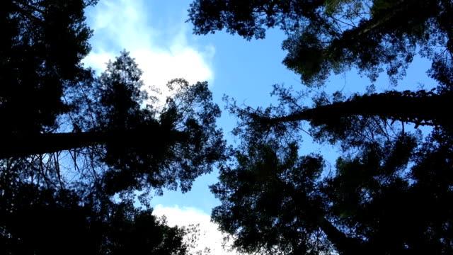 vídeos y material grabado en eventos de stock de mirando hacia arriba en la cima del árbol canopy  - pino conífera