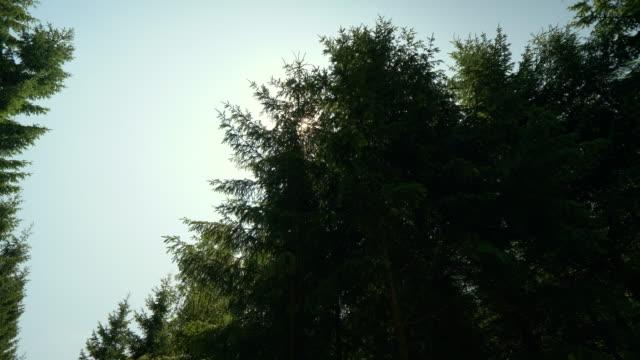 ser i en pinjeskog i sverige - pine forest sweden bildbanksvideor och videomaterial från bakom kulisserna