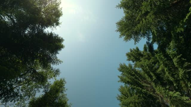 vidéos et rushes de chercher dans une forêt de pins en suède - vue en contre plongée verticale
