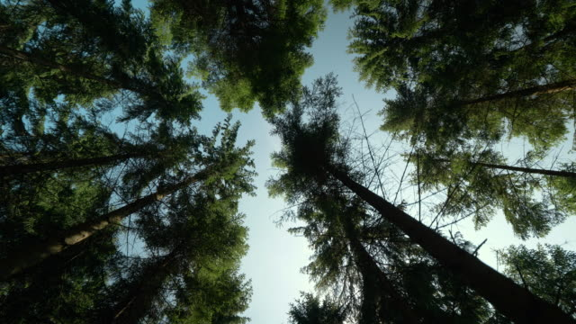 looking up in a pine tree forest in sweden - looking up stock videos & royalty-free footage