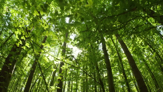 Looking up in forest, walking under trees in spring. The sun shines through leaves. POV through tops of trees Looking up in forest, walking under trees in spring. The sun shines through leaves. POV through tops of trees, Germay tree stock videos & royalty-free footage
