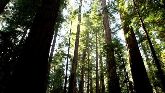 guarda in una fitta foresta di redwood sfondo. - yeti video stock e b–roll