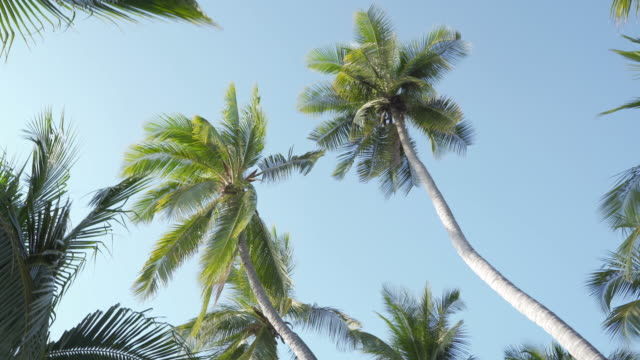 PAN Looking up on palm coconut trees and pan to the beach 4K PAN Looking up on palm coconut trees and pan to the beach dolly shot stock videos & royalty-free footage