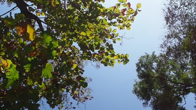 Looking up teak tree in autumn