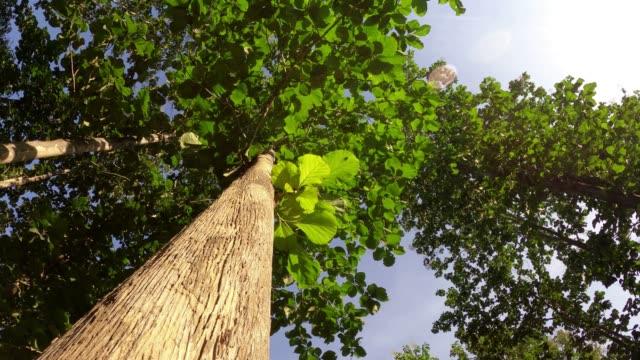 Looking up Teak tree with sunlight