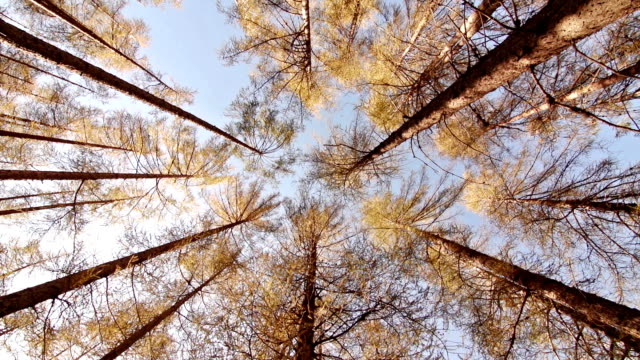 Looking up the tall larch trees video