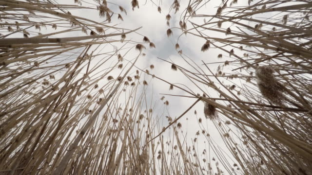 pov looking up through dead reeds in the winter. - тростник стоковые видео и кадры b-roll
