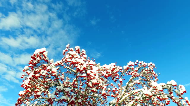 ナナカマドの木の枝と空は雲で雪のキャップで赤い果実のクラスターを見上げる ビデオ