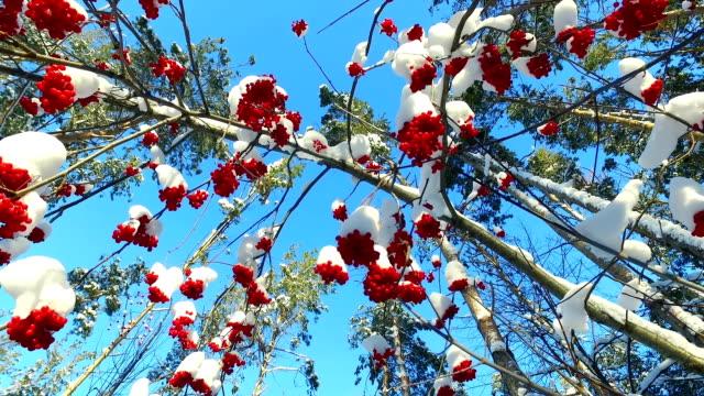 ナナカマドの木の枝と空で雪キャップと赤い果実のクラスターを見上げる ビデオ