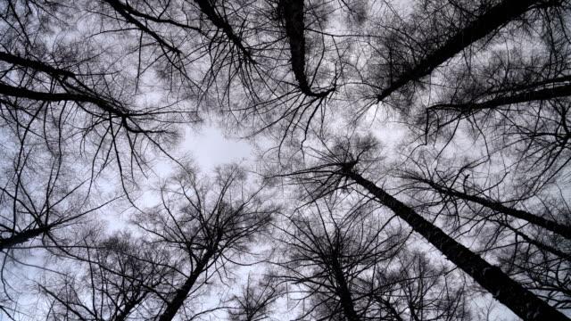 ser upp till täckt himlen i snö tall träd skogen - hokkaido bildbanksvideor och videomaterial från bakom kulisserna
