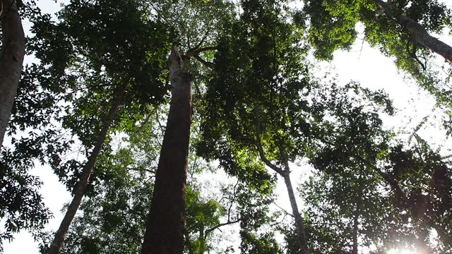 Looking up Tree in tropical rainforest