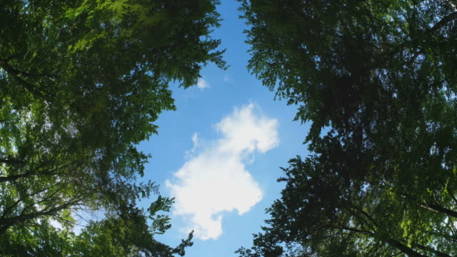 Looking up under trees to a glade in the forest, time lapse