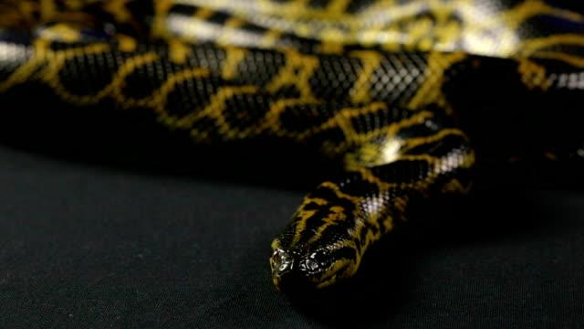Looking yellow anaconda video