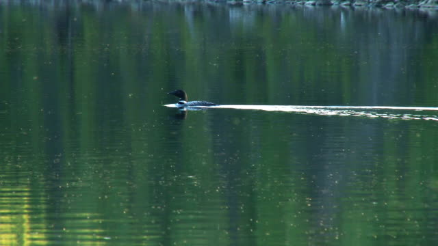 loon swimming and diving video