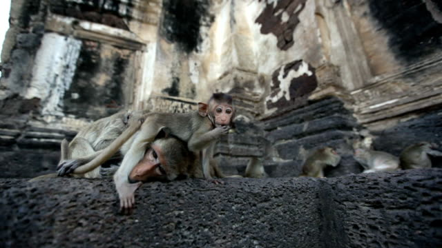Lopburi, Thailand, the city of free monkeys video