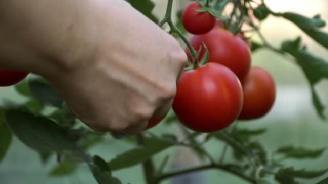 сlose-up of hands tear ripe tomatoes - pomodoro video stock e b–roll