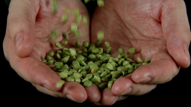 SLOW: A lot of a green peas fall on a human hands video
