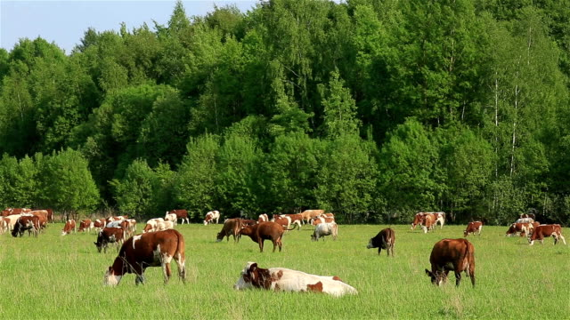 A lot of cows grazing in the field. video