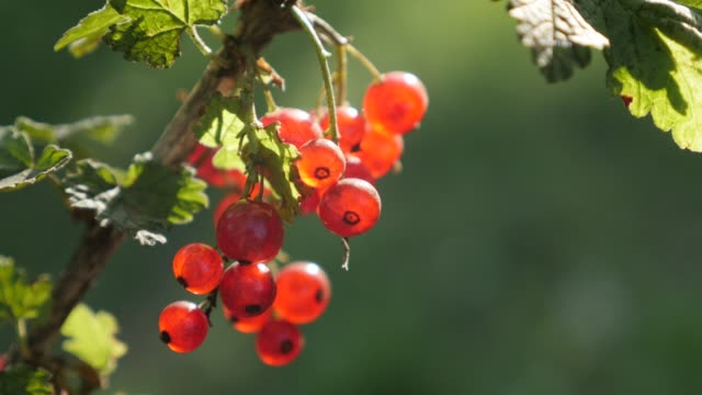 lot of healthy ribes rubrum plant shallow dof 4k 2160p 30fps ultrahd footage - the deciduous shrub  redcurrant berries fruit close-up 3840x2160 uhd video - ribes rosso video stock e b–roll