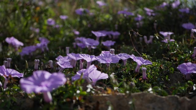 A lot of Ipomoea Indica flowers also known as Purple Morning glory